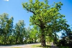 Ārputnu ozols Rīgas gatvē. 5,08 m apkārtmērs. Foto I.Filipova. 2015.gada vasara.