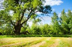 Līlavu dižozols vasarā. 7,15 m apkārtmērs. Foto I.Filipova 2015.gads.
