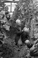 Kolhoza ''Ādaži'' dārznieks Osvalds Bērziņš siltumnīcā novāc melones. 1964.gada augusts.