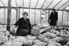 Kolhoza putnkopji Viktors Babulis un Ilga Babule sadala vitaminizēto barību vistām. 1971.gada oktobris.