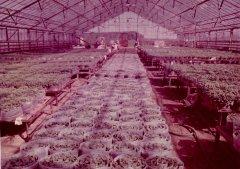 Ādažu meristēmu kultūras siltumnīcā. 1985.gads.